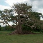 The_300-year-old_ceiba_tree_Vieques_Puerto_Rico
